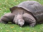 Hugo II, die beliebte und seltene Riesenschildkröte des Zoos